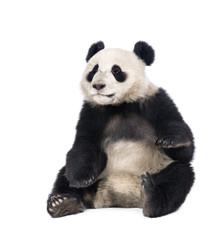 Zelfklevend Fotobehang Panda Giant Panda, 18 months old, sitting against white background