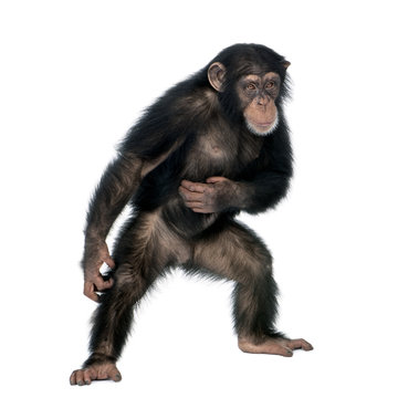 Young chimpanzee, standing against white background