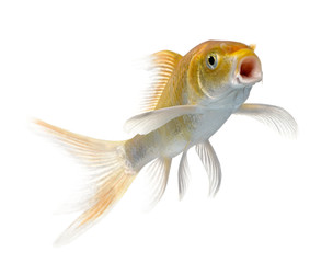 orange carp swimming against white background