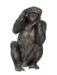 Chimpanzee with hand on head sitting against white background