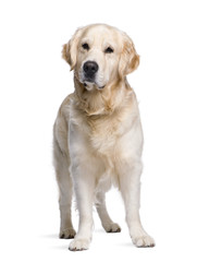 Golden Retriever standing in front of white background