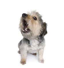 Cross Breed dog barking in front of white background