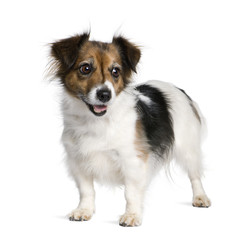 Mixed-breed dog  in front of white background, studio shot