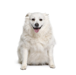 Schipperke, 7 years old, sitting in front of white background