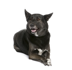 Mixed breed dog lying down in front of white background