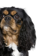 Cavalier King Charles Spanie in front of white background