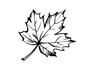 . sketch of the sheet of the maple on white background