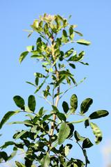 tige arbuste faux-poivrier