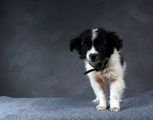 small dog puppy. Color is black with white.
