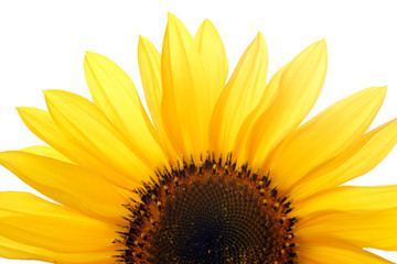 sunflower against white background isolated
