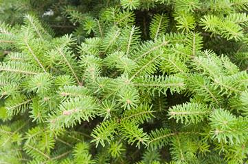 green pine close up