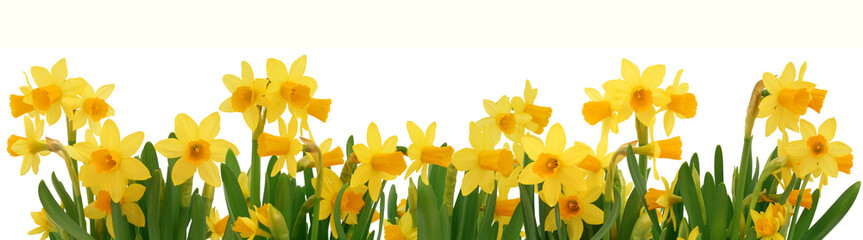 Foto op Canvas Narcis Spring daffodils border