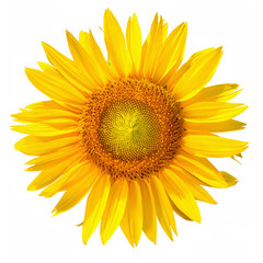 Isolated Sunflower head with clipping path, on white background