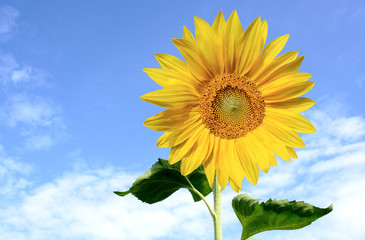 Gorgeous sunflower with green leaves