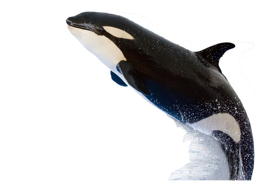 A killer whale, Orcinus Orca, isolated on white