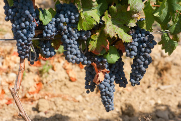 Ripening cluster of wine grapes