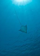 Spotted eagle ray (Aetobatis narinari)