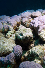 Devil scorpionfish (Scorpaenopsis diabola)