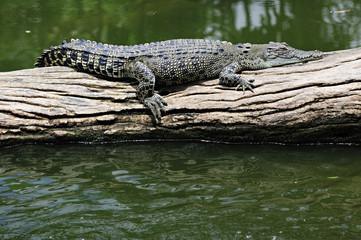 Poster Crocodile Leistenkrokodil beim Faulenzen
