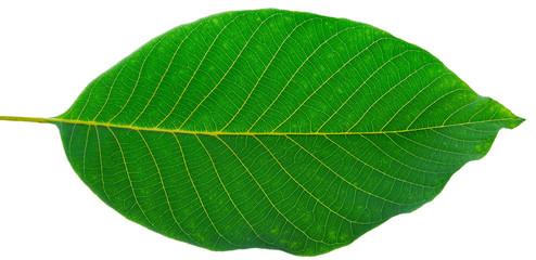 leaf of walnut