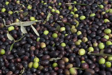 Spoed Foto op Canvas Olijfboom olive