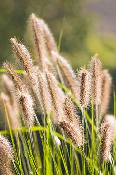 Sunshine on Chinese Fountain Grass