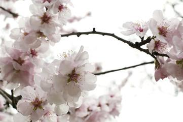 Kirschblüten_1
