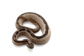 Striped pygmy rattlesnake