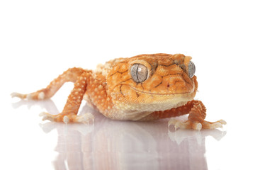 Centralian Rough Knob-tailed Gecko