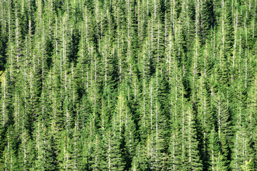 Spruce forest barcode