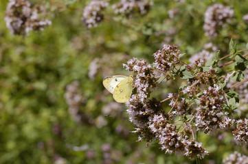 papillon22