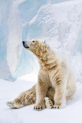 Young polar bear looking around