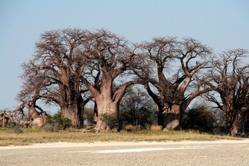 Baines baobab