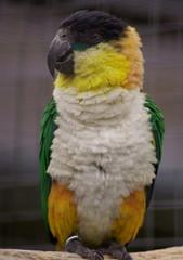 1. parrot    2. poll-parrot    3. popin