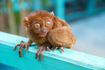 lovely tarsier
