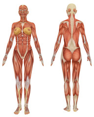 Female muscular Anatomy Front and Rear View