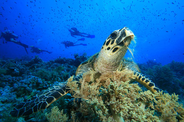 Hawksbill Turtle with scuba diver silhouettes in background