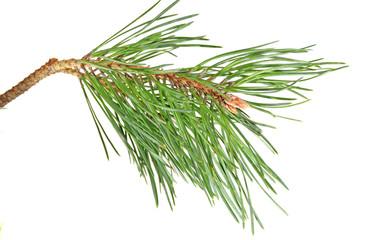 branch  pine