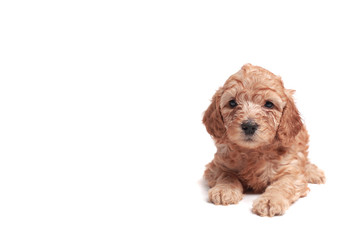small puppie over a white background