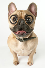 chien bouledogue français avec des lunettes