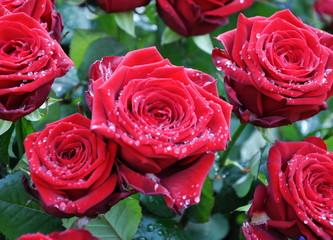 roses et rosée