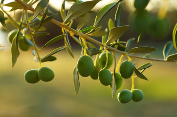Detail of olive tree branch