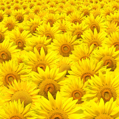 Crowded Sunflowers field
