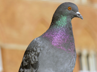 Pigeon in Siena, Tuscany, Italy