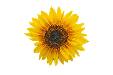 Sunflower (free)