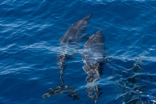Delfine auf der jagd