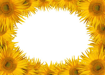 Beautiful sunflower blooms isolated on white