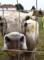 Kuh hinter Gitter