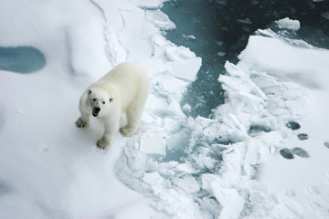Polar bear close to the North Pole.(view from the icebreaker)