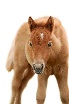 chestnut foal isolated on white